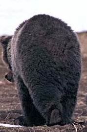 медведь уходит